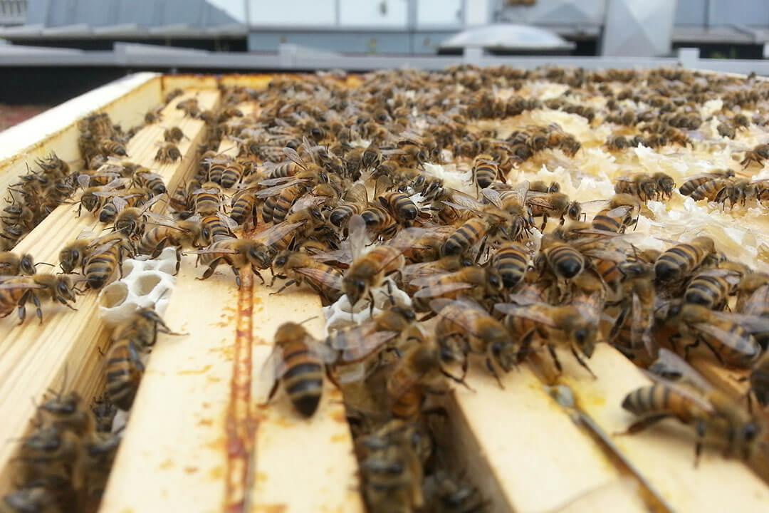 beeodiversity_atelier-des-tanneurs_co2logic_terra-bio_projet_abeilles_alveoles_ruche