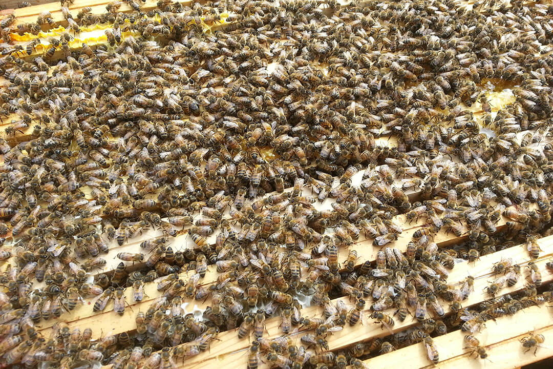 beeodiversity_atelier-des-tanneurs_co2logic_terra-bio_projet_essaim_abeilles