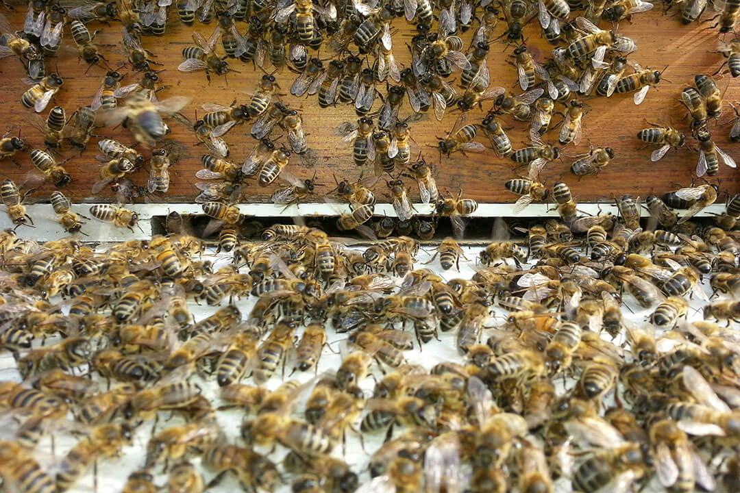 beeodiversity_edf_projet_abeilles_essaim_ruche